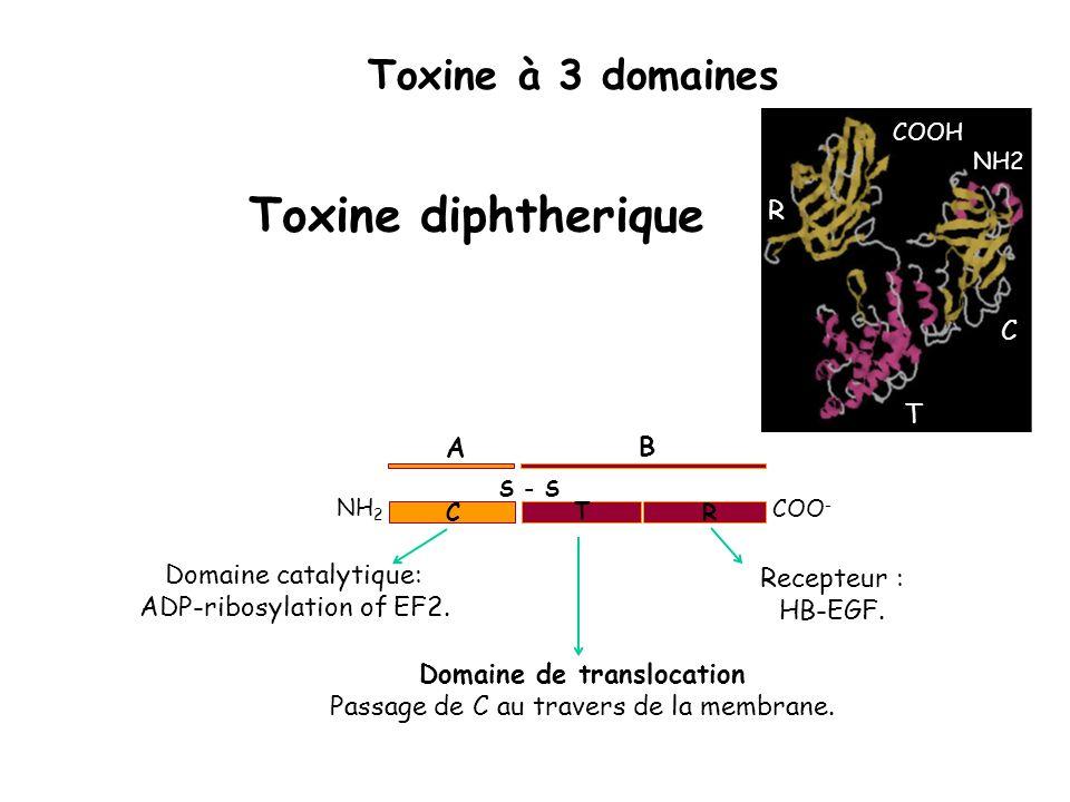 Toxine diphtherique Toxine à 3 domaines R C T A B Domaine catalytique:
