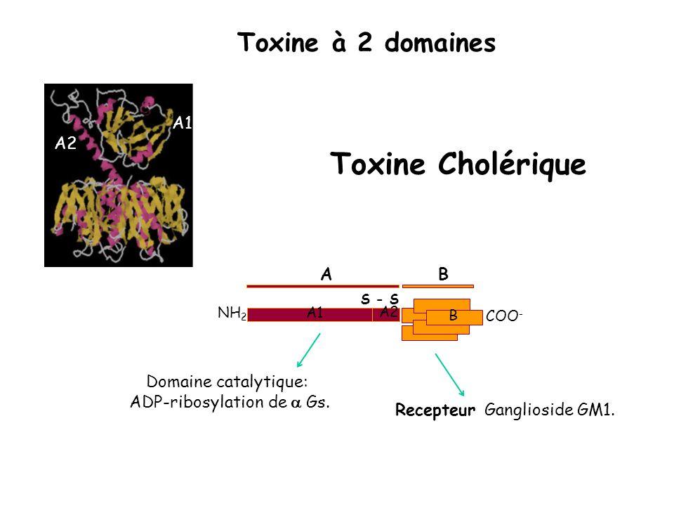 Toxine Cholérique Toxine à 2 domaines A1 A2 A B Domaine catalytique: