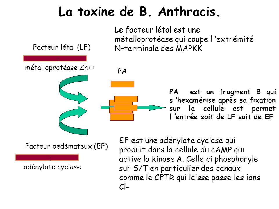 La toxine de B. Anthracis.