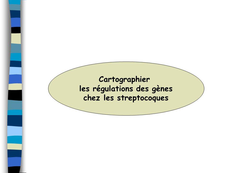 les régulations des gènes chez les streptocoques