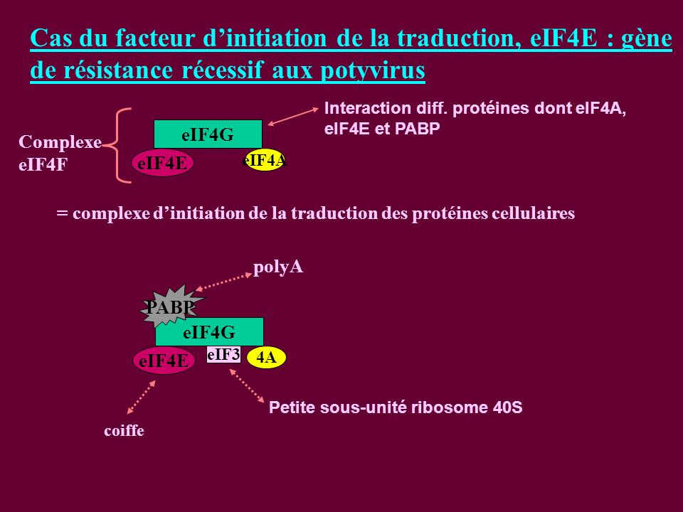 Cas du facteur d'initiation de la traduction, eIF4E : gène de résistance récessif aux potyvirus