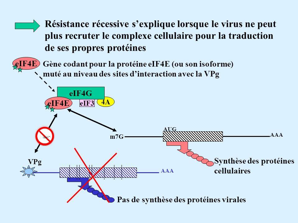 Résistance récessive s'explique lorsque le virus ne peut plus recruter le complexe cellulaire pour la traduction de ses propres protéines
