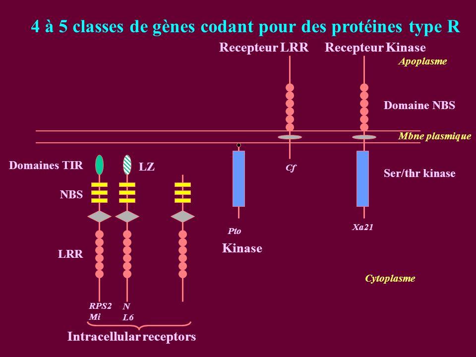 4 à 5 classes de gènes codant pour des protéines type R