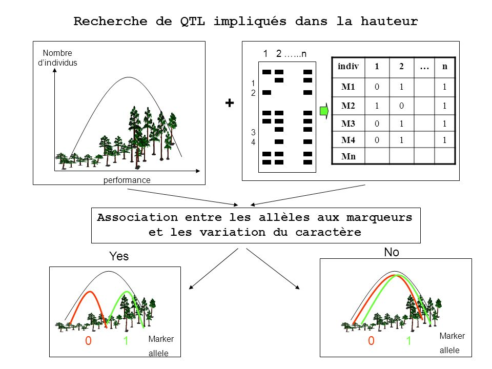 Recherche de QTL impliqués dans la hauteur