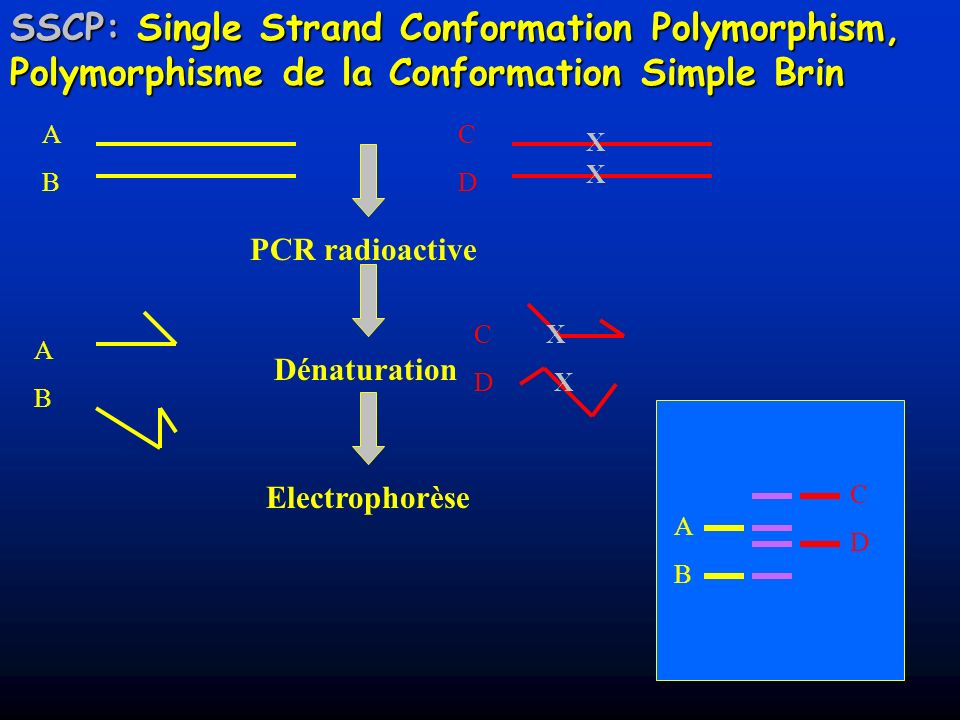 SSCP: Single Strand Conformation Polymorphism, Polymorphisme de la Conformation Simple Brin