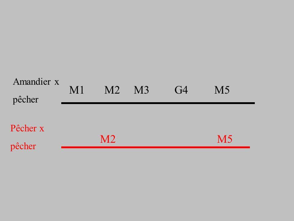 Amandier x pêcher. M1 M2 M3 G4 M5.