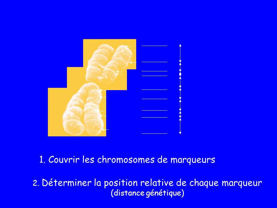 1. Couvrir les chromosomes de marqueurs