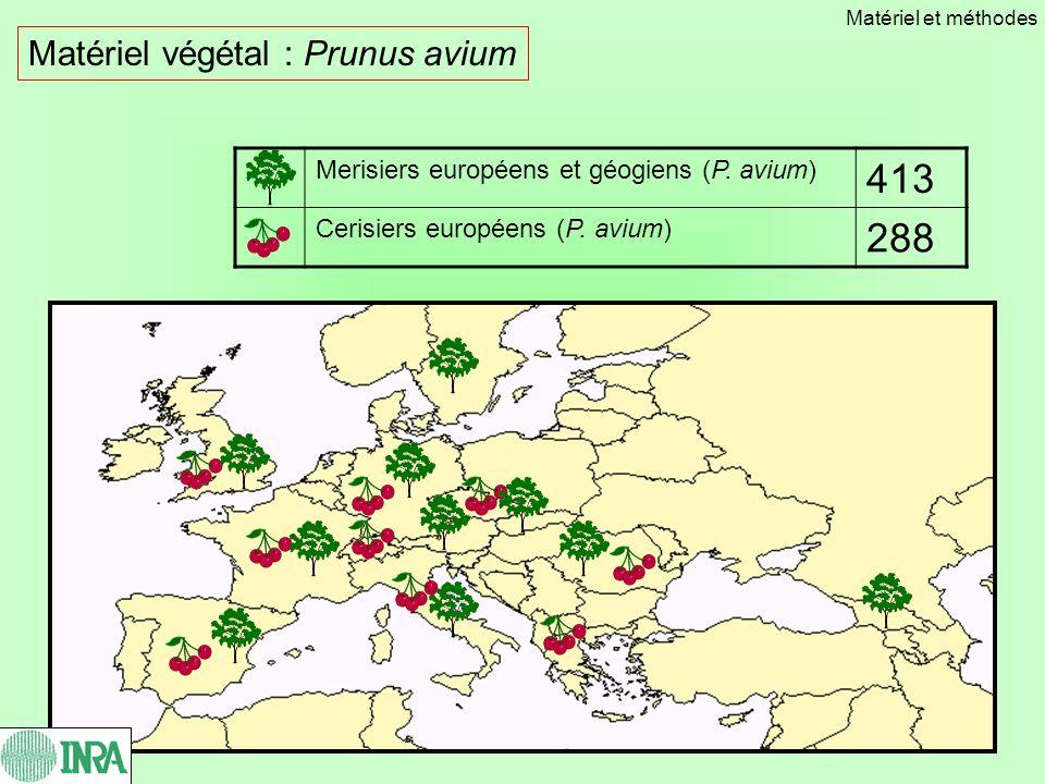 413 288 Matériel végétal : Prunus avium