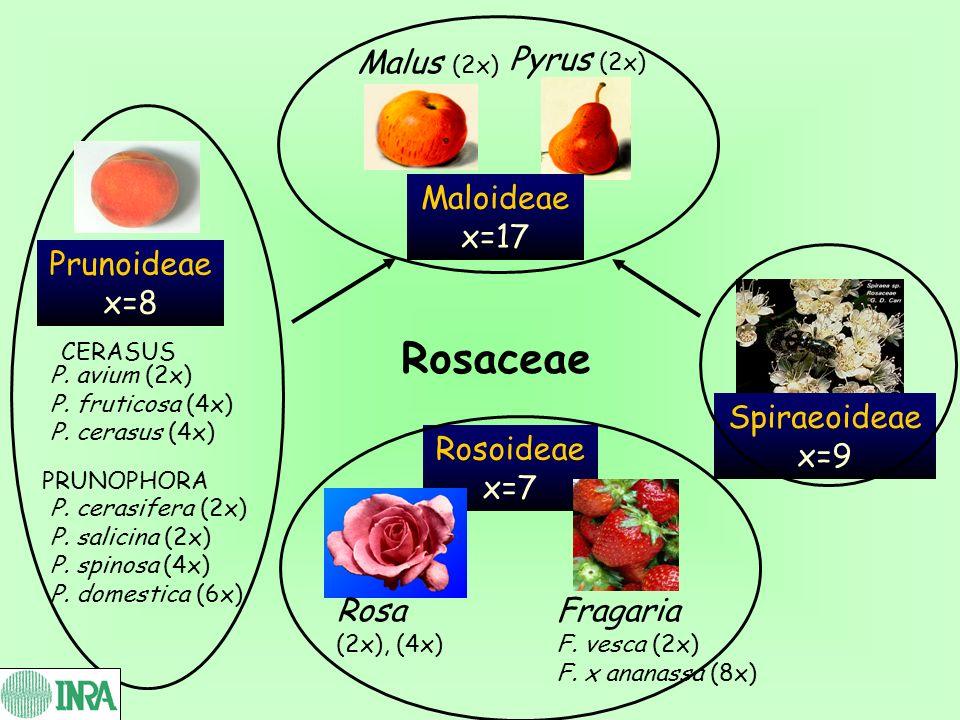 Rosaceae Malus (2x) Pyrus (2x) Maloideae x=17 Prunoideae x=8