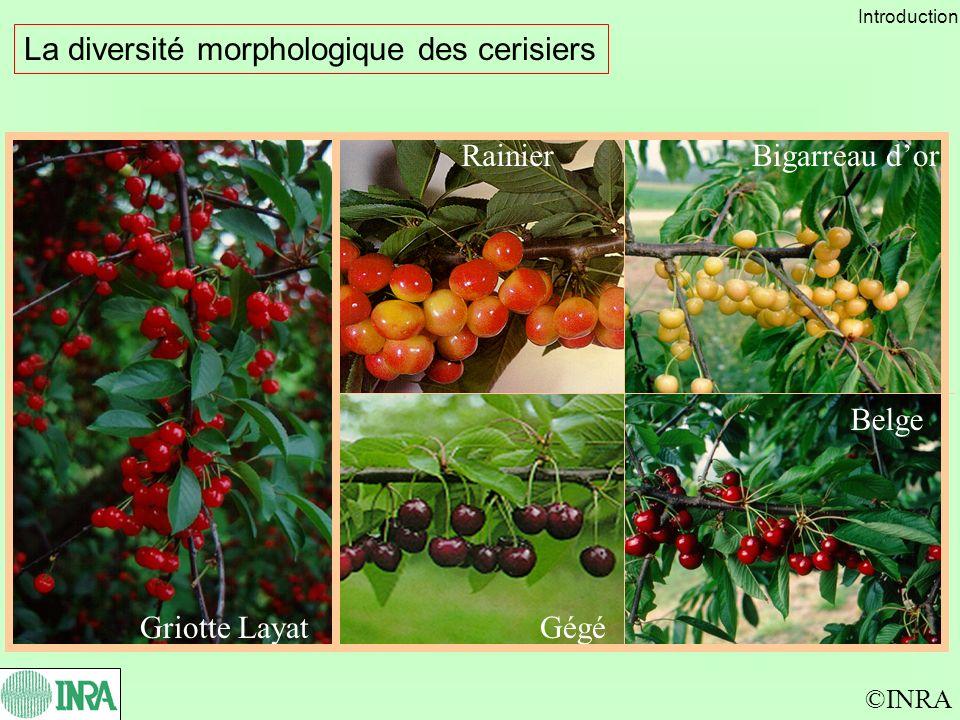 La diversité morphologique des cerisiers