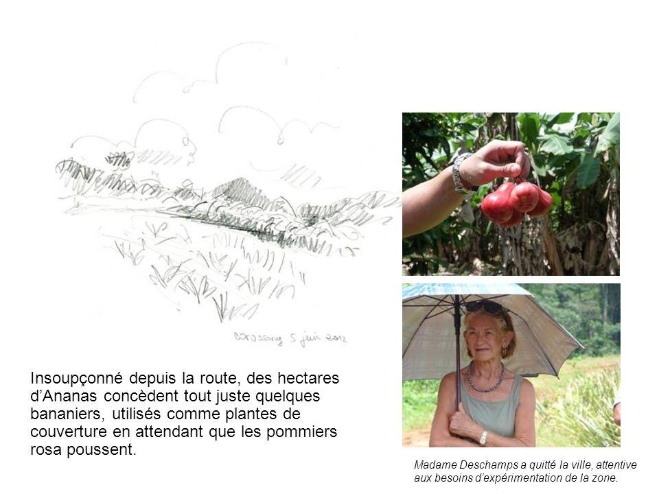 Insoupçonné depuis la route, des hectares d'Ananas concèdent tout juste quelques bananiers, utilisés comme plantes de couverture en attendant que les pommiers rosa poussent.