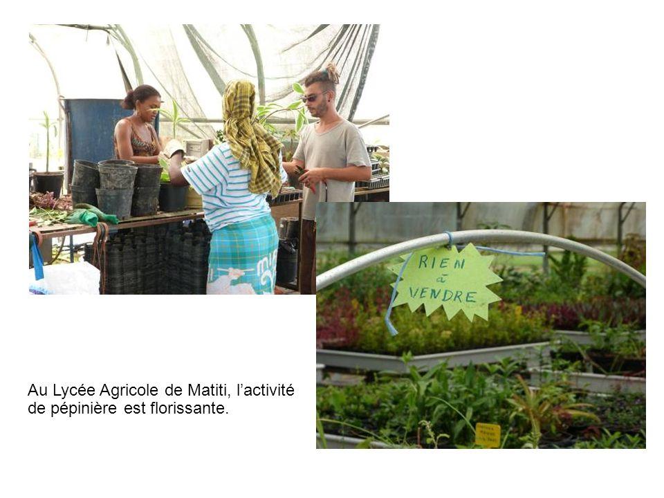 Au Lycée Agricole de Matiti, l'activité de pépinière est florissante.