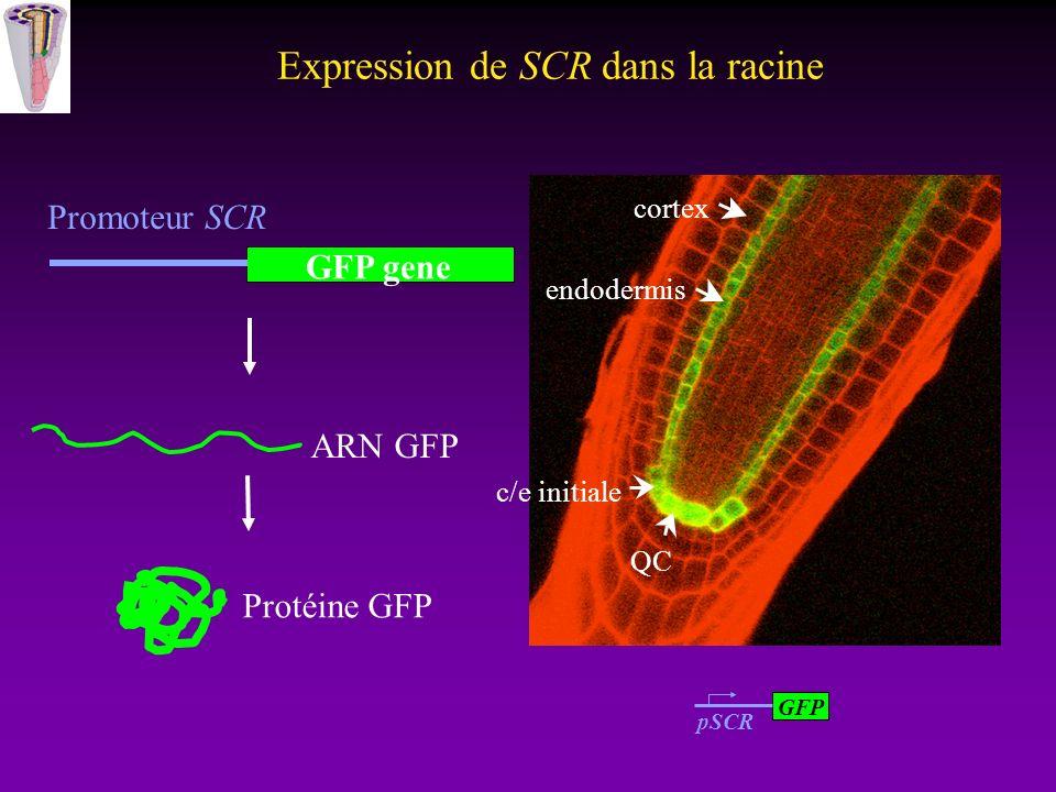 Expression de SCR dans la racine