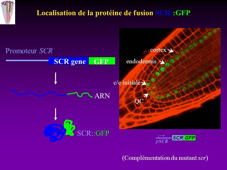 Localisation de la protéine de fusion SCR::GFP