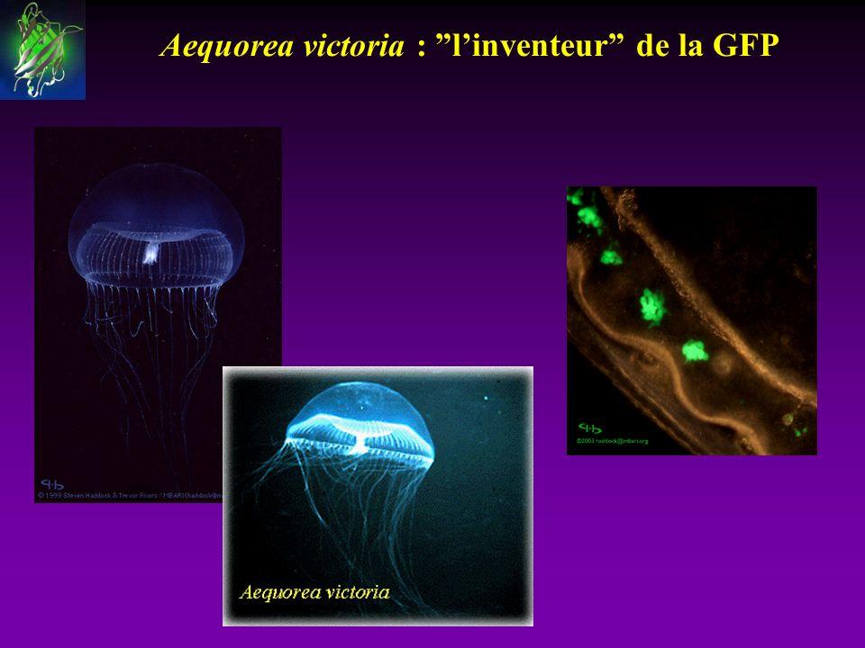 Aequorea victoria : l'inventeur de la GFP