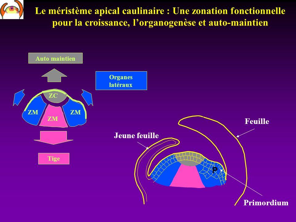 Le méristème apical caulinaire : Une zonation fonctionnelle pour la croissance, l'organogenèse et auto-maintien