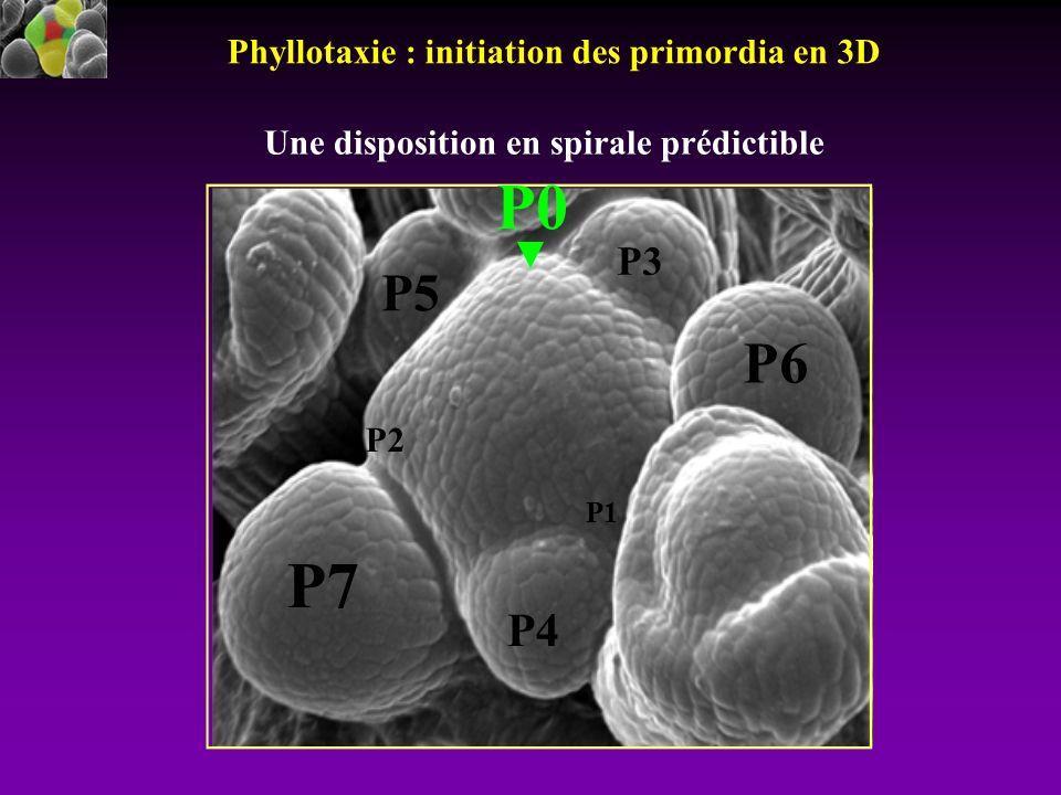 P0 P7 P6 P5 P4 P3 Phyllotaxie : initiation des primordia en 3D