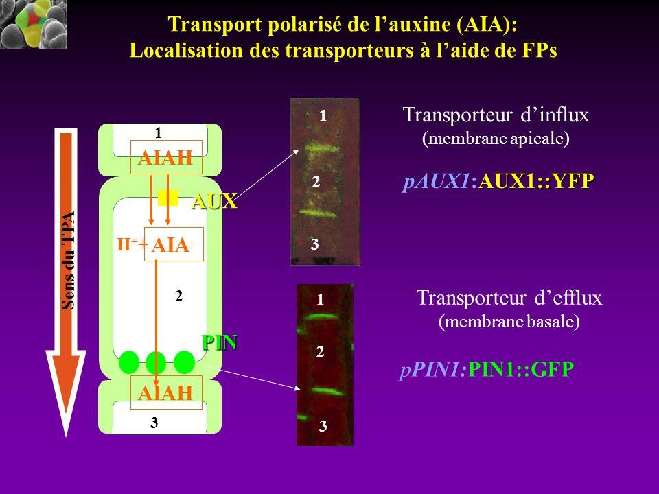 Transport polarisé de l'auxine (AIA):