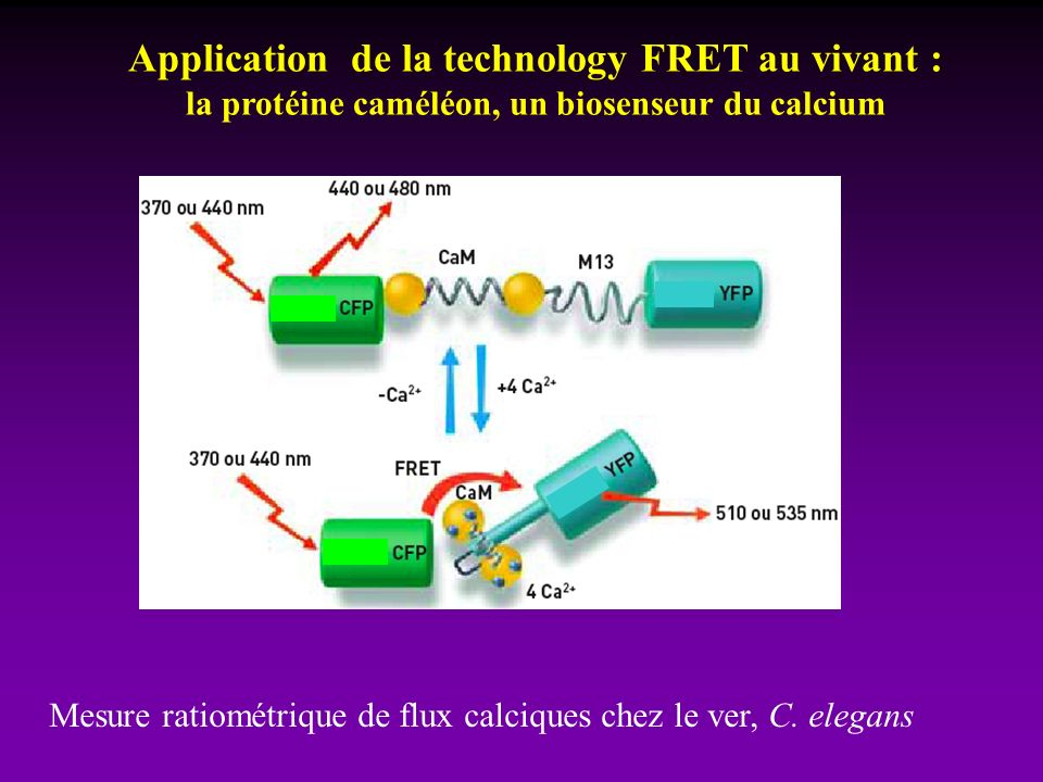 Application de la technology FRET au vivant :
