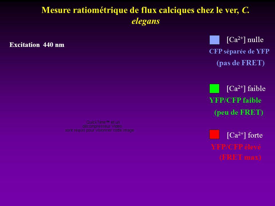 Mesure ratiométrique de flux calciques chez le ver, C. elegans