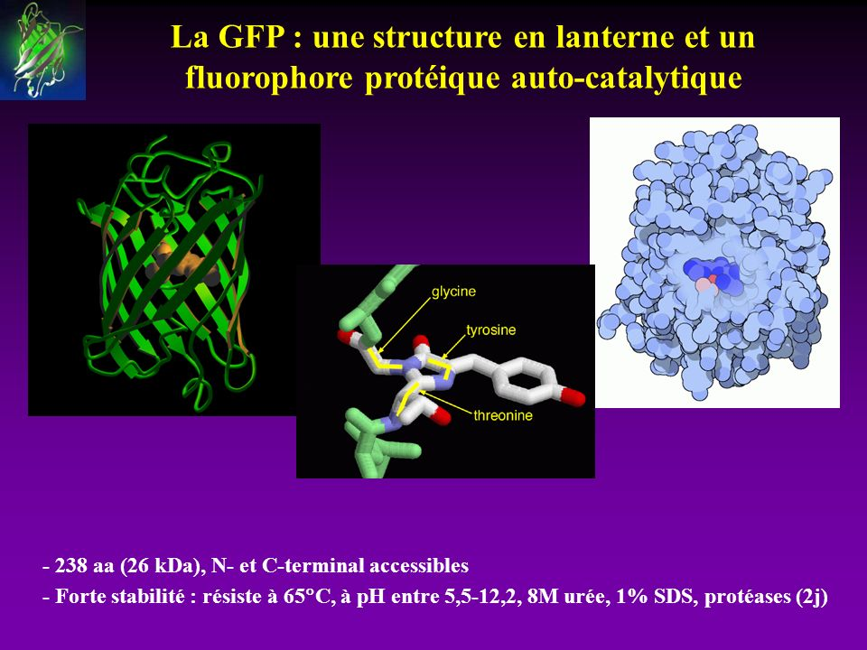 La GFP : une structure en lanterne et un fluorophore protéique auto-catalytique