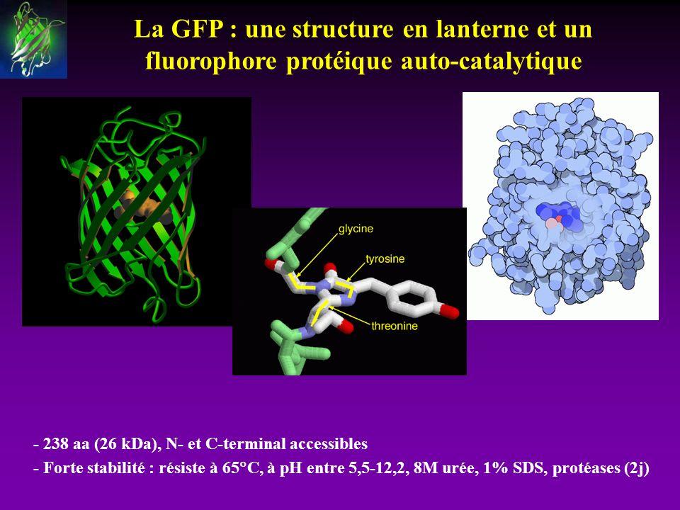 La GFP : une structure en lanterne et un fluorophore protéique auto-catalytique