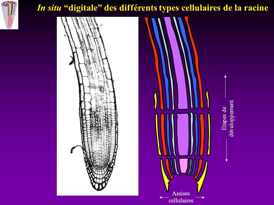 In situ digitale des différents types cellulaires de la racine
