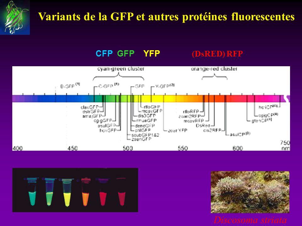 Variants de la GFP et autres protéines fluorescentes