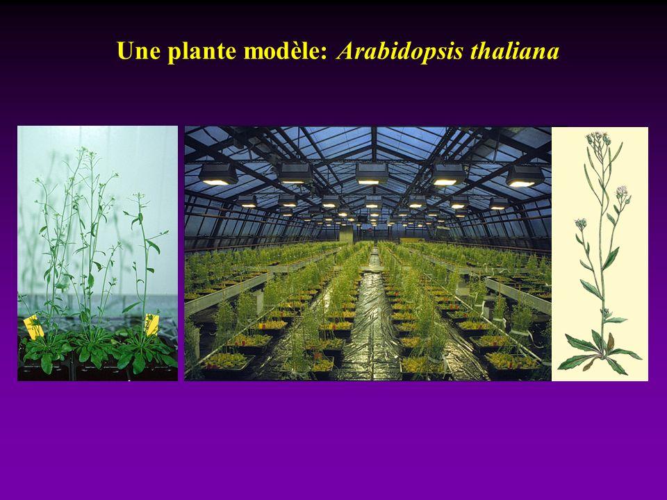 Une plante modèle: Arabidopsis thaliana