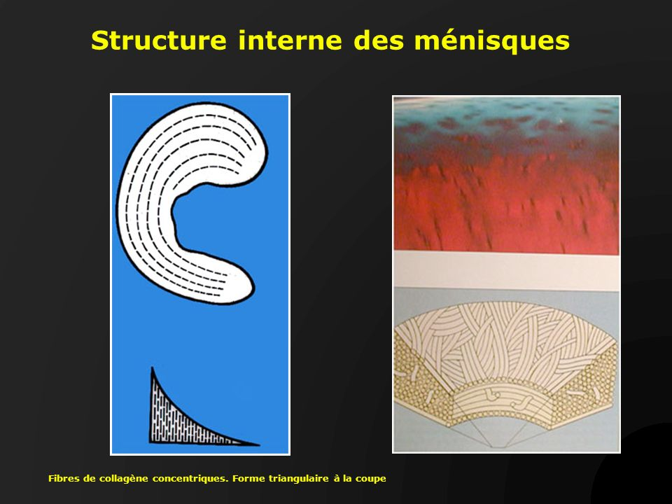 Structure interne des ménisques