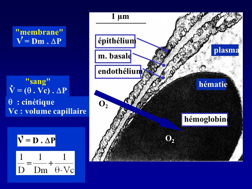 1 µm membrane V = Dm . DP. épithélium. plasma. m. basale. endothélium. sang V = ( . Vc) . DP. hématie.