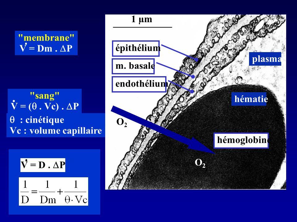 1 µm membrane V = Dm . DP. épithélium. plasma. m. basale. endothélium. sang V = ( . Vc) . DP.