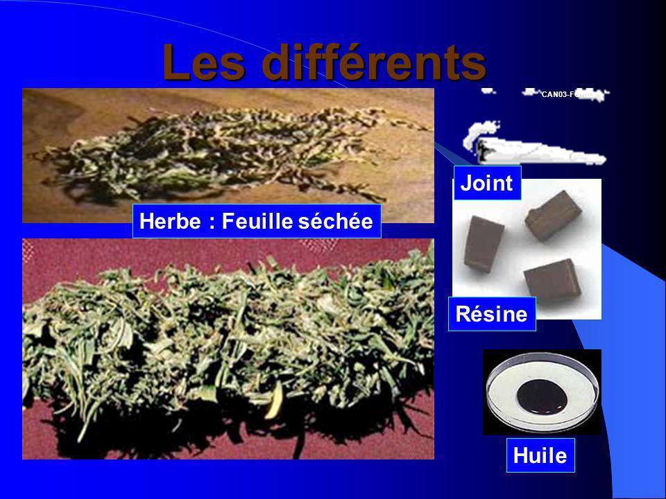 Les différents cannabis