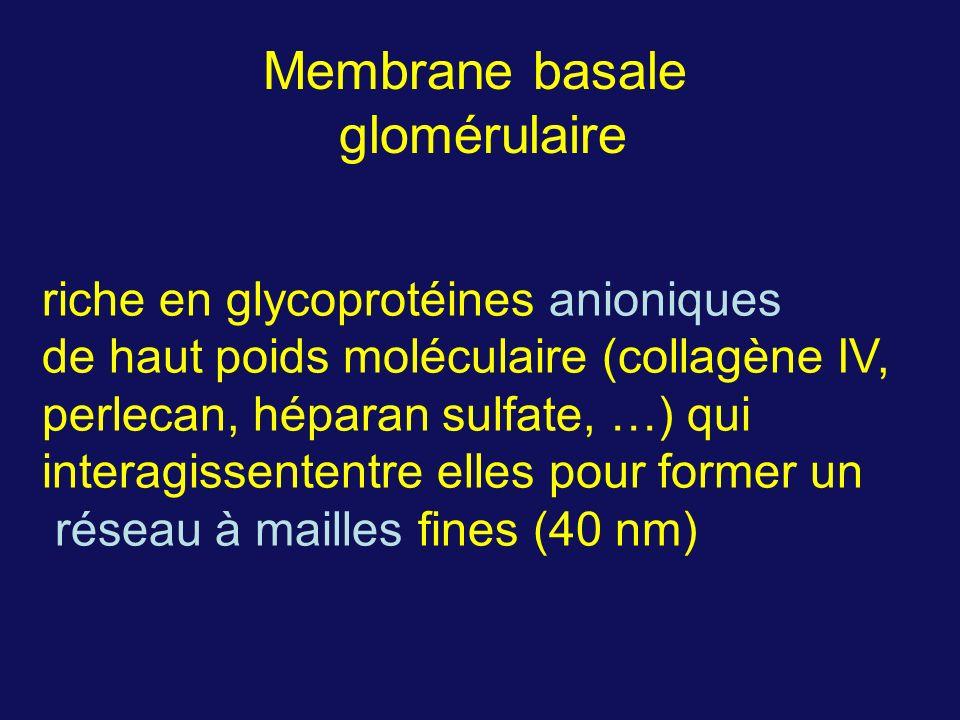 Membrane basale glomérulaire riche en glycoprotéines anioniques