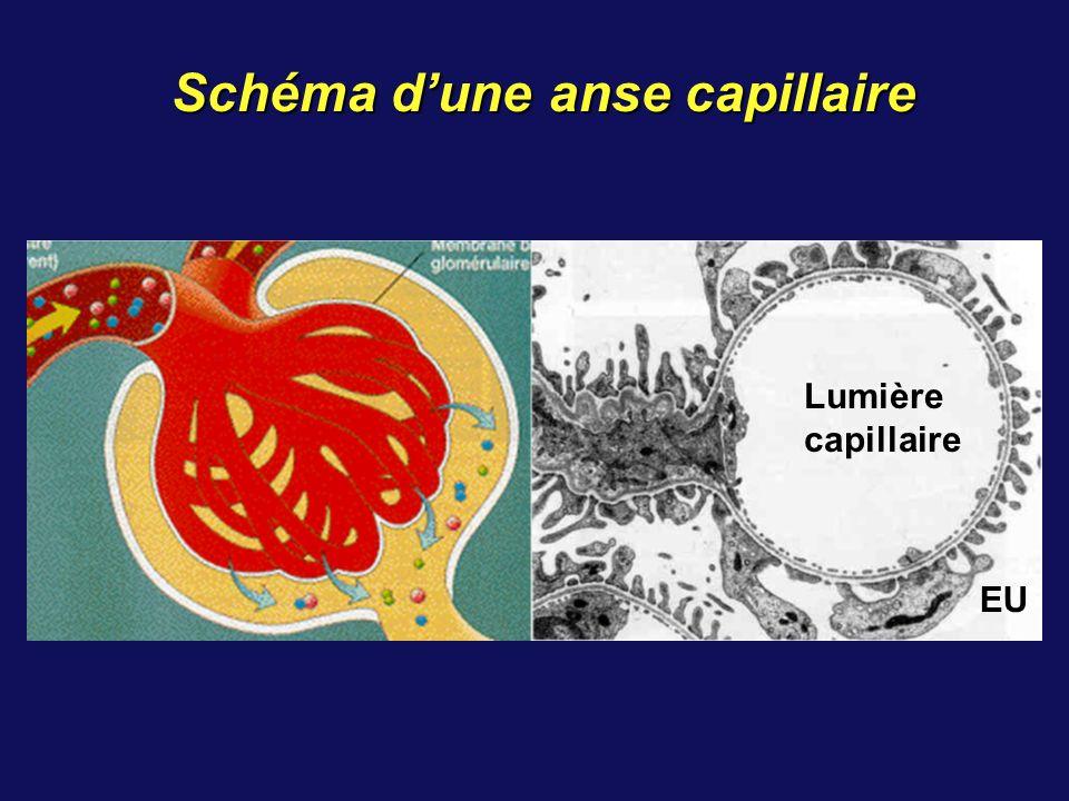 Schéma d'une anse capillaire