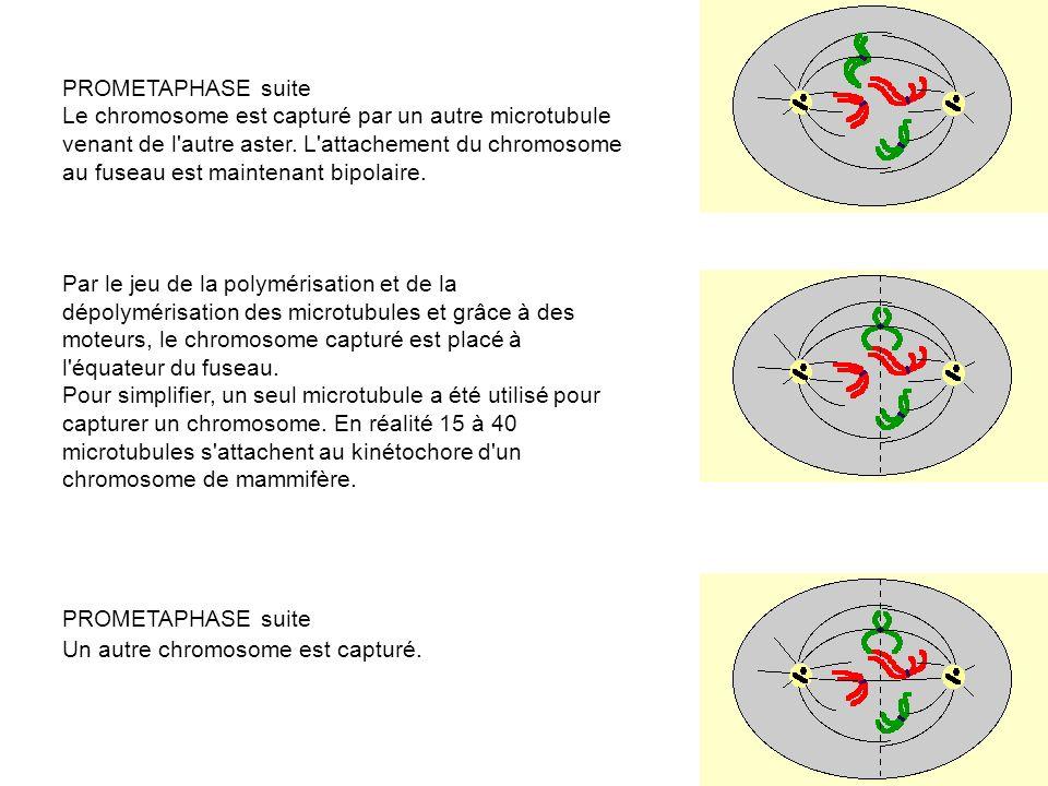 PROMETAPHASE suite Le chromosome est capturé par un autre microtubule. venant de l autre aster. L attachement du chromosome.