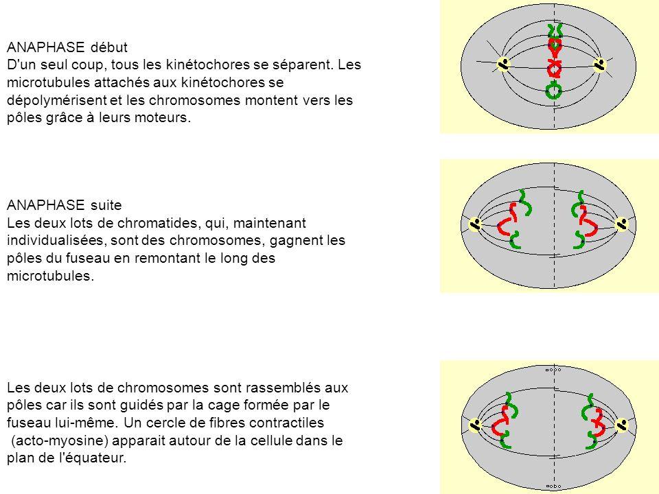 ANAPHASE début D un seul coup, tous les kinétochores se séparent. Les. microtubules attachés aux kinétochores se.