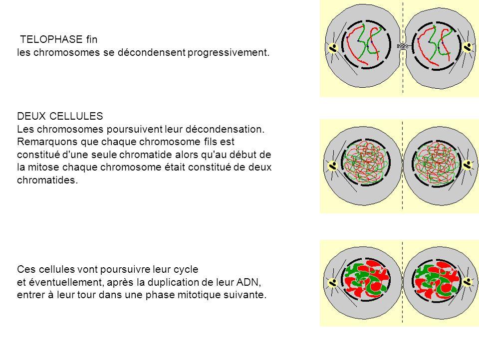 TELOPHASE fin les chromosomes se décondensent progressivement. DEUX CELLULES. Les chromosomes poursuivent leur décondensation.