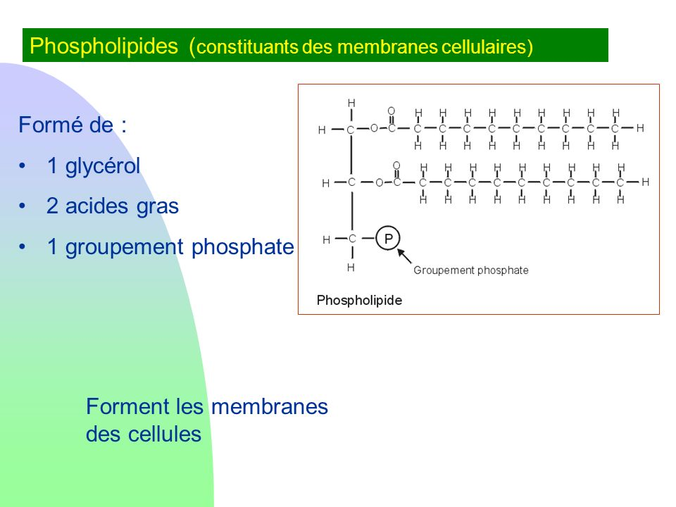 Phospholipides (constituants des membranes cellulaires)
