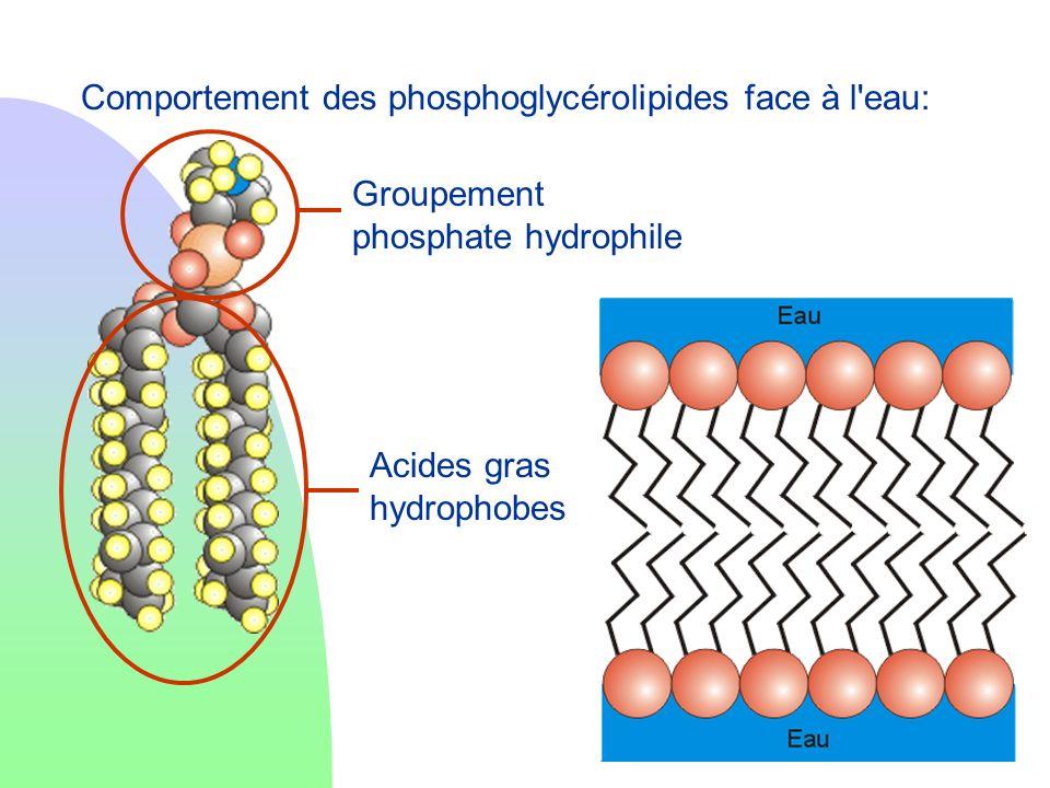 Comportement des phosphoglycérolipides face à l eau:
