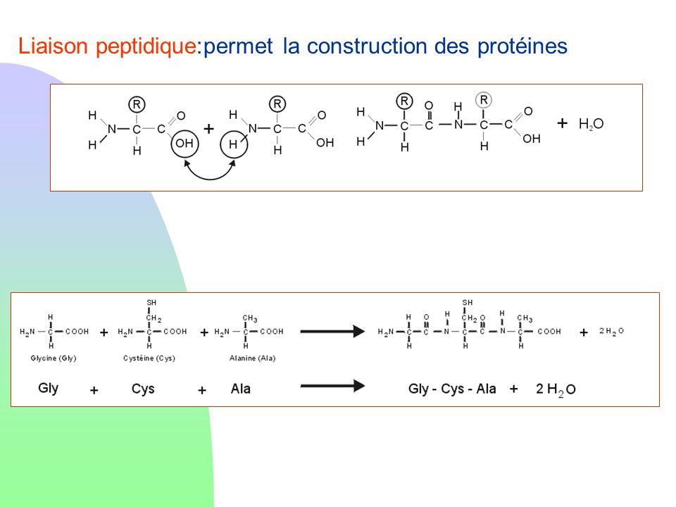 Liaison peptidique:permet la construction des protéines