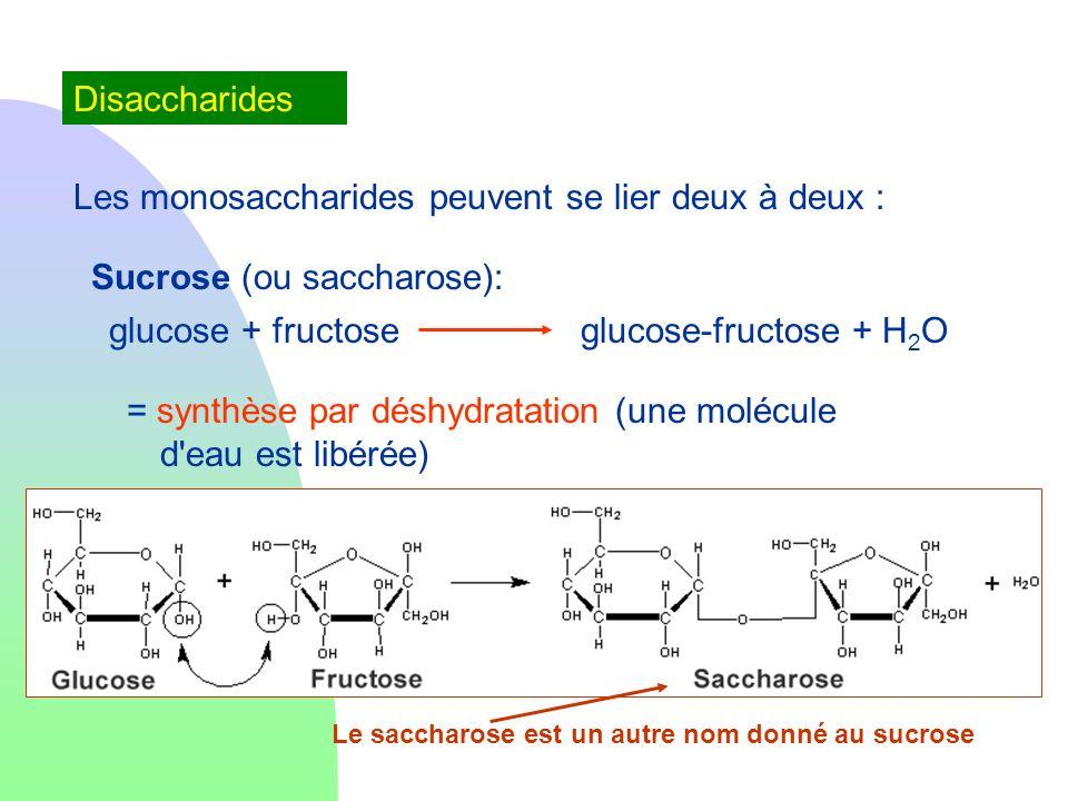 Les monosaccharides peuvent se lier deux à deux :