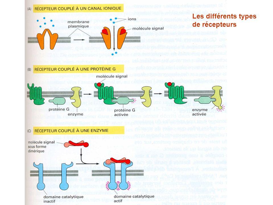 Les différents types de récepteurs