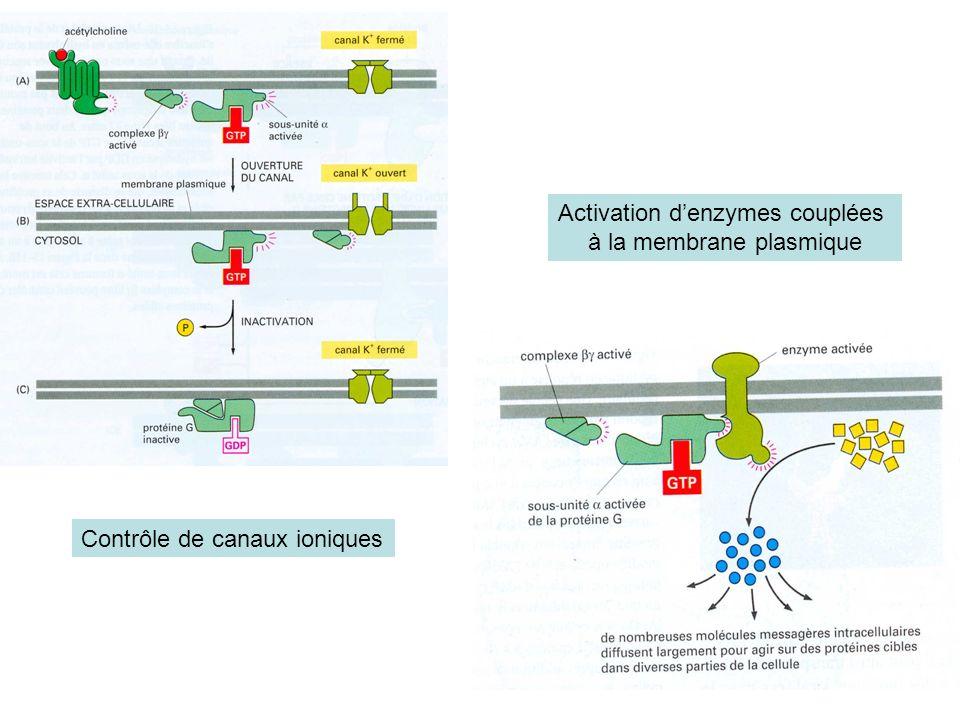 Activation d'enzymes couplées à la membrane plasmique