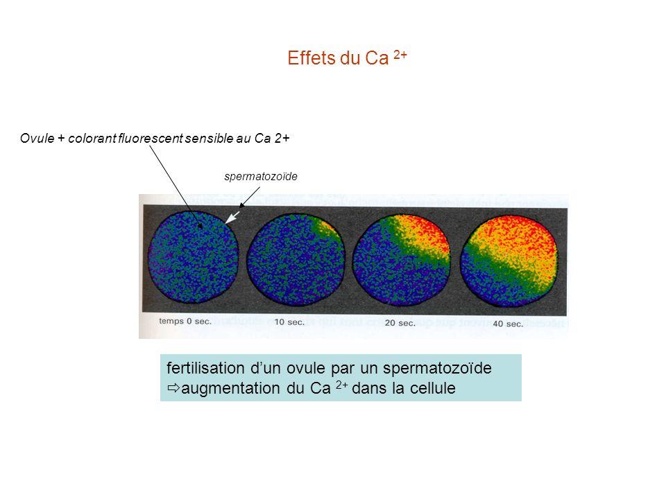 Effets du Ca 2+ Ovule + colorant fluorescent sensible au Ca 2+ spermatozoïde.