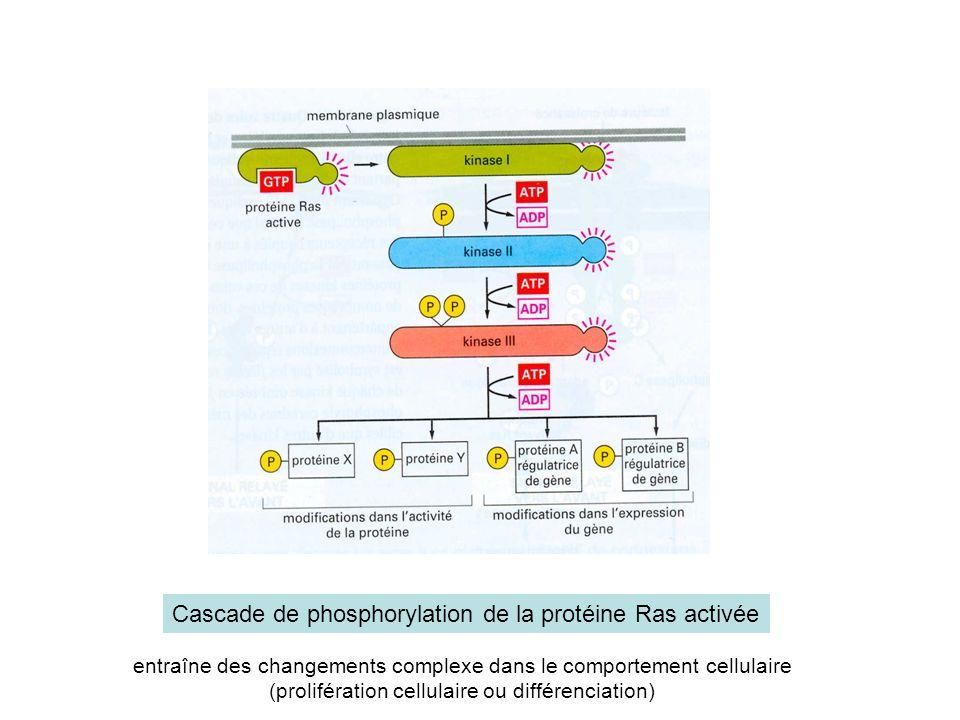 Cascade de phosphorylation de la protéine Ras activée