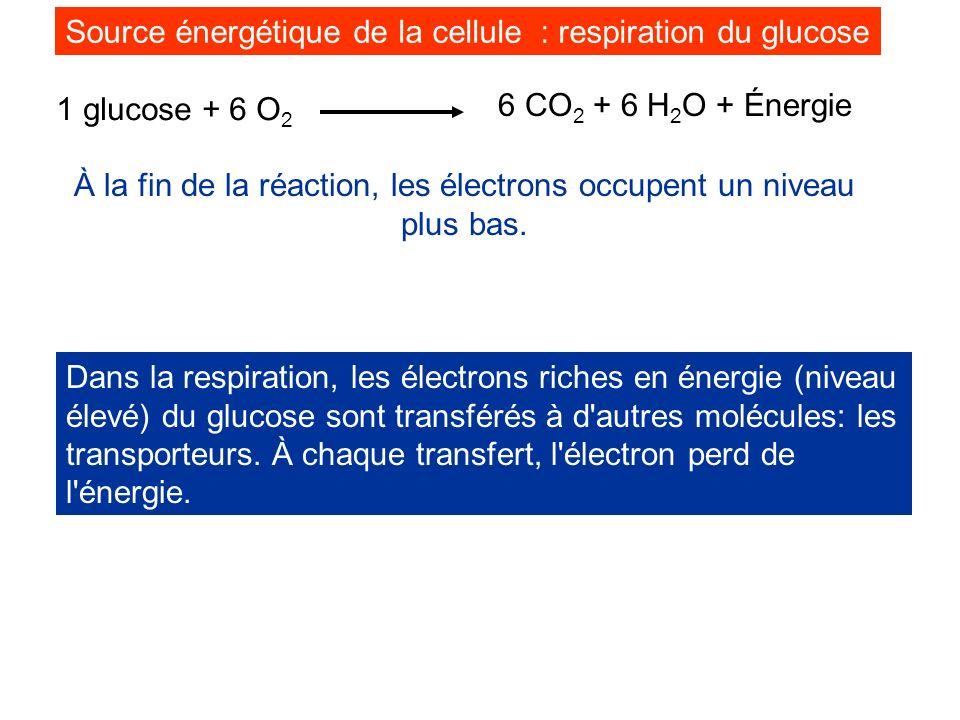 Source énergétique de la cellule : respiration du glucose