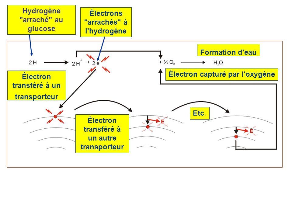 Hydrogène arraché au glucose Électrons arrachés à l hydrogène