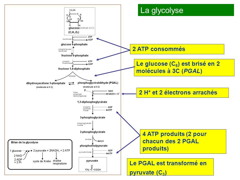 La glycolyse 2 ATP consommés
