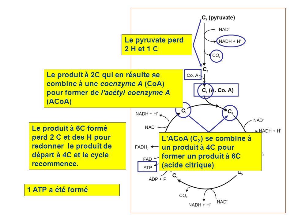 Le pyruvate perd 2 H et 1 CLe produit à 2C qui en résulte se combine à une coenzyme A (CoA) pour former de l acétyl coenzyme A (ACoA)